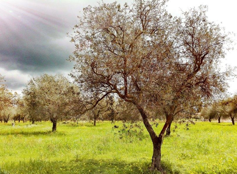 was darf ich essen Sardinien italien olivenbaum