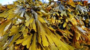 algen fructosefrei